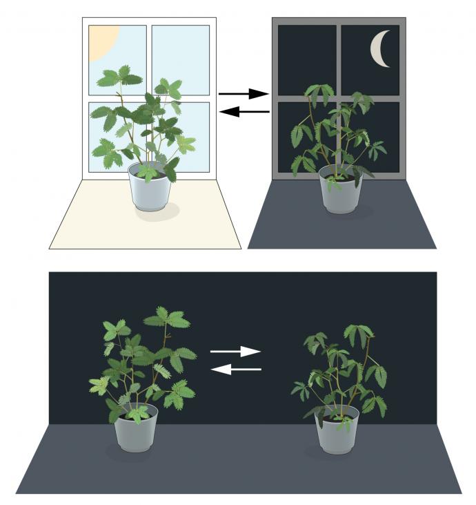 그림 1. 체내 생체 시계: 식물 미모사의 잎은 낮동안에는 태양을 향해 펼쳐졌다가 밤이 되면 닫힌다(위). 장-자크 도르투 드 메랑은 미모사를 빛이 없는 어두운 곳에 계속 두는 실험을 했다(아래). 그 결과 빛과 상관없이 미모사 잎은 하루 주기에 따라 열렸다 닫힌다는 것을 발견했다. - 노벨상 위원회 제공